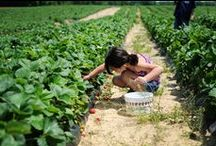 U-Pick at Fifer's / Pick your own strawberries, blueberries, apples, peaches and pumpkins at Fifer Orchards in Camden-Wyoming Delaware