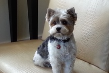 """Pampered Pets  / At the Fairmont Heritage Place, Ghirardelli Square, it's not just a """"home away from home,"""" it's home. Pets included. Meet our furry, four-legged guests."""