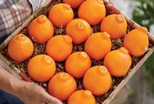 """Hale Honeybells / Honeybells are Hale Groves' most highly prized fresh fruit variety. Called """"Honeybells"""" because of their honey-sweet flavor and unique bell shape. A cross between a super sweet Duncan Grapefruit and a Dancy Tangerine, resulting in an incredibly juicy treat!"""