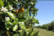 Indian River Hale Groves / Indian River fruit tastes better than any other type of citrus grown in Florida. Nutrient rich soil, fed by the river, makes the perfect place for citrus fruit to grow.