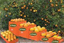 Pick-Your-Own Florida Citrus / Customize your own grove fresh Florida citrus assortment! Pick and personalize a sampler of fresh, premium citrus fruit!