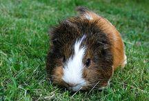 Guinea Pigs / Pets