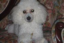 TOY POODLE(LARAH) POODLE <3 / Larah mia , mi toy poodle blanca...