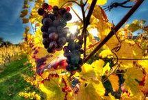 Vineyard - Les Vignobles