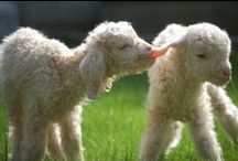 Lambs / by Heather Marie