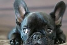French Bulldog - Art and Gifts / Art, photography and gifts for everyone who loves Boston Terriers and French Bulldogs!