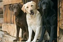 Labrador Retriever - Art and Gifts / Art, photography and gifts for Lab lovers.