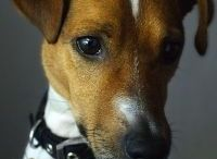 Jack Russell Terrier - Art and Gifts / Art, photography and gifts for Jack Russell lovers.