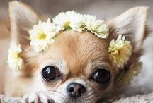 Chihuahua - Art and Gifts / Art, photography and gifts for Chihuahua, Min Pin and Papillon lovers.