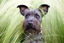 Schnauzer - Art and Gifts / Art, photography and gifts for Schnauzer lovers.