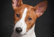 Basenji - Art and Gifts / Art, photography and gifts for Basenji lovers.