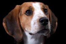 Treeing Walker Coonhound - Art and Gifts / Gifts, Art and Photography featuring: The Treeing Walker Coonhound