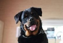 Rottweiler - Art and Gifts