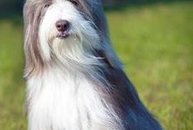 Bearded Collie and Old English Sheepdog - Art and Gifts / Art, photography and gifts for Bearded Collie and Old English Sheepdog lovers.