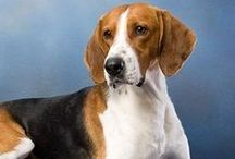 Foxhound - Art and Gifts / Art, photography and gifts for American Foxhound and English Foxhound lovers.