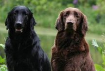 Flat Coated Retriever - Art and Gifts