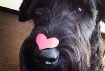 Giant Schnauzer - Art and Gifts