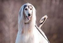 Afghan Hound - Art and Gifts
