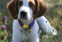Irish Red and White Setter - Art and Gifts