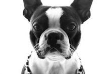 Boston Terrier - Art and Gifts