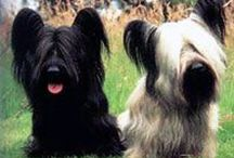 Skye Terrier - Art and Gifts