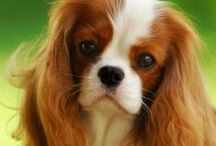 Cavalier King Charles Spaniel - Art and Gifts
