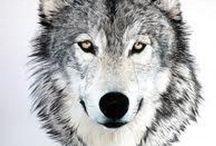 Lobos (canis lupus)