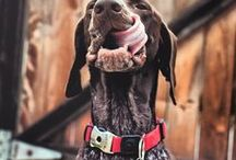 German Shorthaired Pointer - Art and Gifts