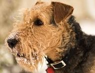 Airedale Terrier - Art and Gifts