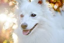 Japanese Spitz - Art and Gifts
