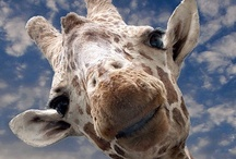 My Obsession / If I had all the money in the world I would have a farm full of giraffes... / by Michelle Dunham