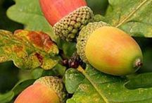 All About Acorns