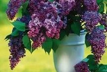 Lilacs / Lilacs are my favorite flowers. My Grandma had lilacs in her garden. Have so many childhood memories of these flowers. Got to love lilacs.