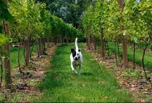 Wine dogs / I love wines and I love dogs. Then, what's better than a wine dog?