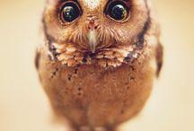 owl owl owl / owls