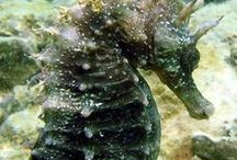 """harvey, the wonder seahorse / """"O under the ocean waves, I gallop the seaweed lanes. I jump the coral reefs, And all with no saddle and reins.""""----Blake Morrison"""