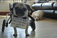 chuckles in charge / This board is dedicated to my pug (Norma aka Chuckles) and any pug lovers out there...