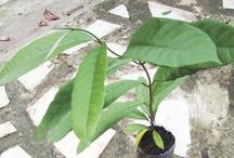 """Jequitibá / Em linguagem Tupi significa """"gigante da floresta"""". É uma das árvores mais altas da flora brasileira e certamente a mais alta da Mata Atlântica. Apesar de seu grande porte é ótima para a arborização de parques e grandes jardins, sendo encontradas espécies milenares - o mais antigo que se conhece está no Parque Estadual do Vassununga, em Santa Rita do Passa Quatro, SP, e possui aproximadamente 3.032 anos de idade - considerada a mais velha árvore do Brasil"""" por Raoni Mendonça, engenheiro ambiental"""