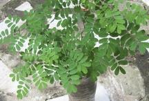"""Pau Ferro / """"O pau-ferro é um árvore cujo porte é imponente - não possui raízes agressivas, o que é importante para arborização urbana - atingindo de 20 a 30 metros de altura. O tronco é claro, marmorizado, liso e descamante, o que lhe confere em efeito decorativo interessante. A floração ocorre no verão e outono. As flores são amarelas e pequenas."""" por Raphael Borsoi, engenheiro ambiental"""