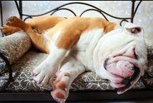 bulldog love / by Karissa Garcia