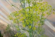 Ervas e sementes curativas
