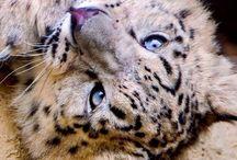 Snow Leopards ❤️
