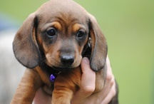 Doxy ♥ Love! / I absolutely, totally, and completely adore Dachshunds.  'Nuff said! / by KJ Giardino