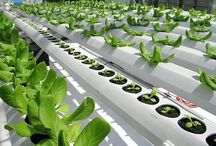 AQUAPONICS, AEROPONICS, HYDROPONICS N URBAN FARMING / Adapt Sustainable Farming Technologies & Promote Organic Food / by GREEN UNIVERSE ENVIRONMENTAL SERVICES SOCIETY (GUESS)