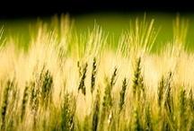 orge / 大麦の美しいイメージ写真を集めました。