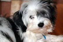 RoCoCo Belle & Raz-Berry / CoCo is our adorable Coton DeTulear and Raz is our sweet Westiepoo.