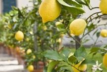 Citrus / oranges, grapefruit, satsumas, lemons, limes . . . / by ✿Sandra✿
