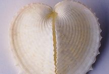 Milford-Haven Novels Seashell Dingbats / Know what a dingbat is? It's a printing term to describe the symbol appearing at the beginning of chapters. For the Milford-Haven Novels, set on California's Central Coast, I chose sea-shells. And that was just the beginning . . .