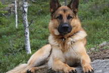 German Shepherds!!!! / by Beverly Isaacs