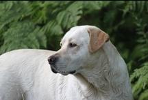 Labrador Retrievers (and the odd Golden)